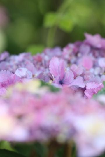 ajisai95_Fotor.jpg